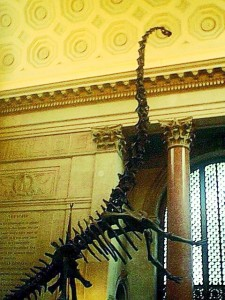 the Barosaurus was unbelievably tall when leaning back onto the hind legs to slap attackers.