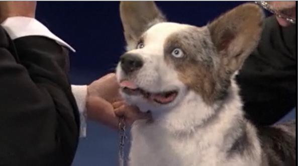 why does cardigan welsh corgi  11 have human eyes   eyedog